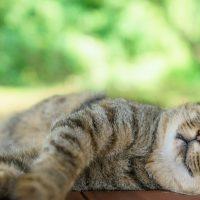 夏の暑さにぐったりする猫